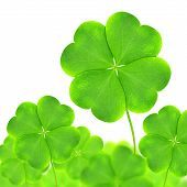 Green clovers leaf