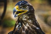 imperial eagle, head detail with beautiful plumage brown