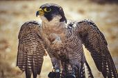 beak, peregrine falcon with open wings , bird of high speed