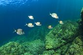 image of school fish  - School Sea Bream Fish - JPG