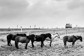 picture of iceland farm  - Icelandic Ponies enduring wind and rain - JPG