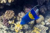 Blue Sickle angelfish - underwater in Red Sea, Egypt