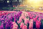 Spring Landscape With Beautiful Hyacinths