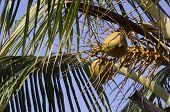 Coconuts on palm tree (branch)