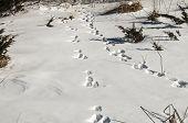 Wild animal traces on snow