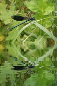 Blue Dragonfly On Leaf With Water Refections