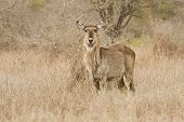 waterbuck, Kobus ellipsiprymnus, standing in the golden grass, Kruger, South Africa