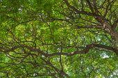 Banyan Tree Canopy