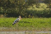 painted stork fishing in a swamp at Bardia, Nepal