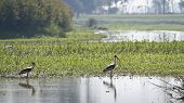 Painted Stork fishing in a swamp in Nepal