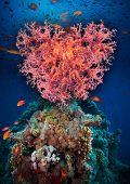 Valentine heart made of corals (Dendronephthya hemprichi) on blue water background