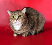 Striped Cat Lying On Red