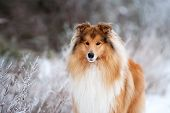 foto of collie  - Portrait of a beautiful red fluffy dog collie on the background of the winter forest - JPG