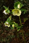 picture of helleborus  - Blossoming yellow flower Caucasian hellebore in nature - JPG