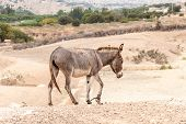 picture of wild donkey  - Brown donkey in a field during summer in Morocco - JPG