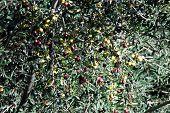 Ripe olives on tree.