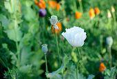stock photo of opium  - Closeup of the white opium poppy flower  - JPG