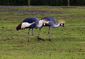 crested cranes on a walk
