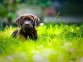 stock photo of puppy eyes  - Cute Labrador Puppy Close Up Playing In green grass in the summer time - JPG