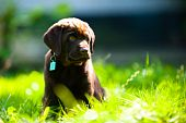 Cute Labrador Puppy Lying In Sun And Grass