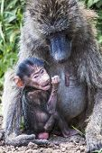 Mother And Baby Baboon,in The Tarangire National Park, Tanzania