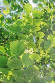 Vivid Green Leaves Background Of Common Hazel