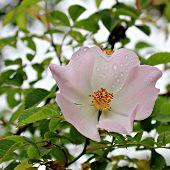 Rosehip flower (Rosa canina)