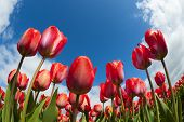 Tulip field close-up