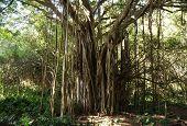 Ficus Tree, Hawaii