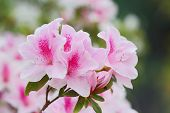 image of azalea  - Pink azaleas in the park close up and soft focus - JPG