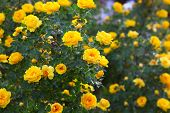 bush briar yellow rose flowers nature background wallpaper