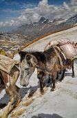 pic of mule  - Caravan of mules in high altitudes of Himalayas mountains in Nepal