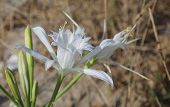 Постер, плакат: Pancratium Maritimum Common Name: Sea Daffodil Sea Lily Sand Daffodil Sand Lily Lily Of St Ni
