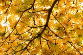 Vibrant Yellow Backlit Leaves On A Tree In Autumn