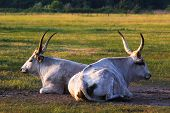Hungarian grey bulls