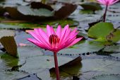 Pink Water Lily In The Pond