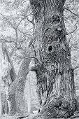 Hdr Shoot Of An Very Old Oak, Black An White Version
