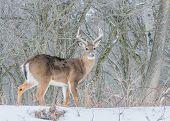 image of deer rack  - Whitetail Deer Buck standing in a woods in winter snow - JPG