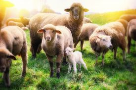 picture of baby sheep  - Sheep herd with newborn baby sheep at green field  - JPG