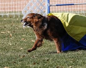 picture of chute  - A large dog coming out of the chute during an agility run - JPG