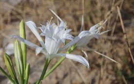 stock photo of sand lilies  - Pancratium Maritimum - JPG