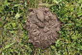 pic of mole  - New mole molehill on the grass in the yard - JPG