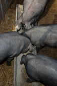picture of pot bellied pig  - Black pigs still eating in their troughs - JPG