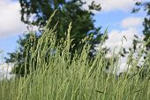 picture of tall grass  - Tall grass blowing in the wind with trees and clouds in the background - JPG