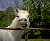 pic of arabian horse  - Silly Arabian horse making a funny face
