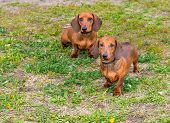 picture of long hair dachshund  - Two Dachshunds are on the grass in the park - JPG