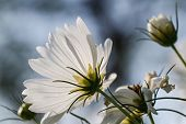 stock photo of cosmos flowers  - Cosmos flower in the garden close up - JPG