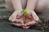 foto of tamarind  - Human lady hands protect the tamarind sprout seedling sprout up from the ground - JPG