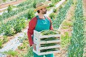 stock photo of orchard  - Farmer man harvesting onions in Mediterranean orchard field - JPG