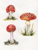 pic of poison  - Illustration of Toadstools Set of watercolor drawing poisonous mushrooms hand drawn illustration of watercolor amanitas - JPG